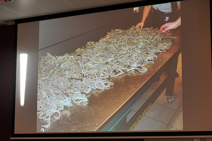 Dried seahorses confiscated at Amsterdam Schiphol Airport. Stop wildlife crime - just don't buy it!