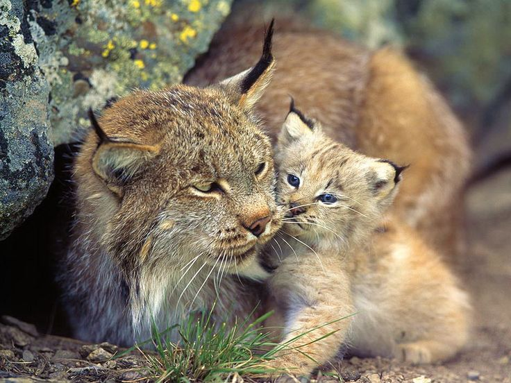 Vaşak anne ile yavru