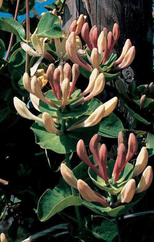 Lonicera caprifolium - kamperfoelie kopen | Maréchal