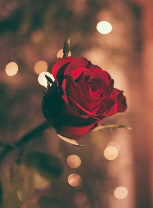 A Single Rose Illuminated By Small Specks Of Light Rose Wallpaper Rose Images Romantic Wallpaper