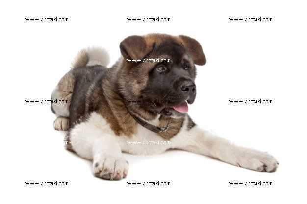 http://www.photaki.com/picture-american-akita-puppy_1304012.htm