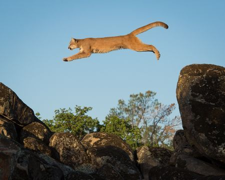 Leaping Mountain Lion Photo by Cesar Aristeiguieta -- National Geographic Your Shot