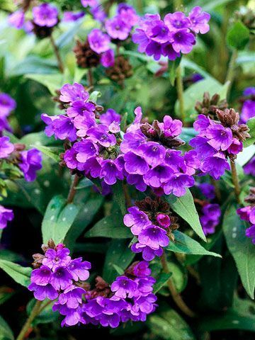 """Lungwort - 1 foot tall, """"opal"""" has ice-blue flowers. shade perennial plant with japanese painted fern or """"jack Frost"""" brunnera for a delightful silver-on-silver."""