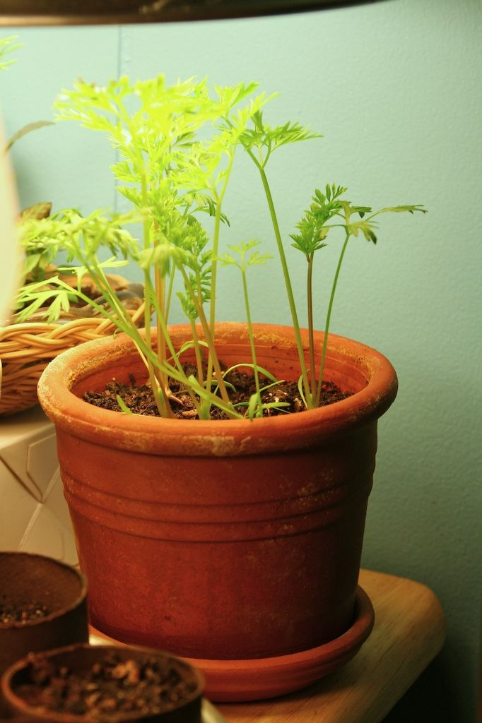Potted Plants And The Necessary Spring Care: How To Grow Carrot Plants In