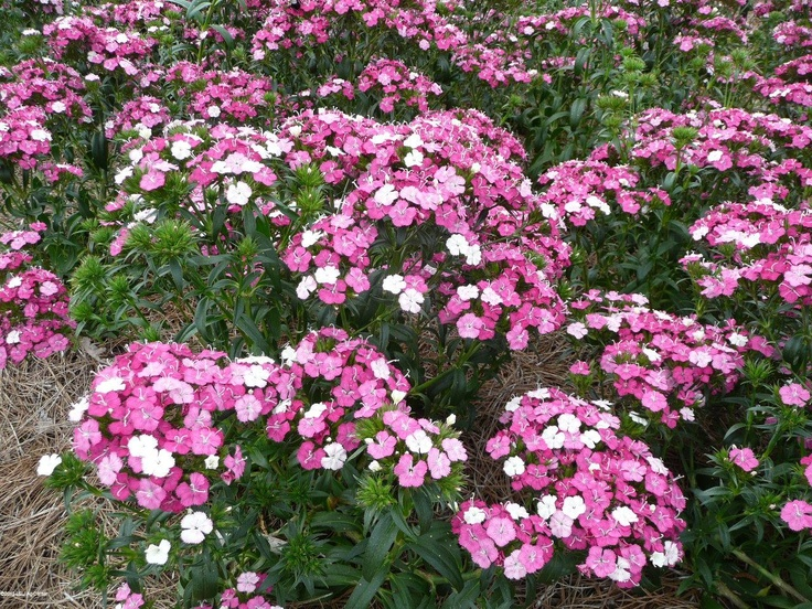 Amazon Dianthus - Louisiana Super Plant Fall 2010    Amazon Dianthus Rose Magic      Flower power of a bed of Amazon Dianthus      Amazon Dianthus Neon Duo    Amazon Dianthus is a tall, showy dianthus from PanAmerican Seed.       The Amazon dianthus series was created by breeding together two species -- Dianthus chinensis, Chinese dianthus or pinks and Dianthus barbatus, sweet Williams. Called an interspecific hybrid, the results are nothing short of outstanding.