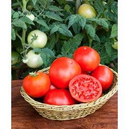 Determinate tomato varieties: smaller pots, smaller bushes