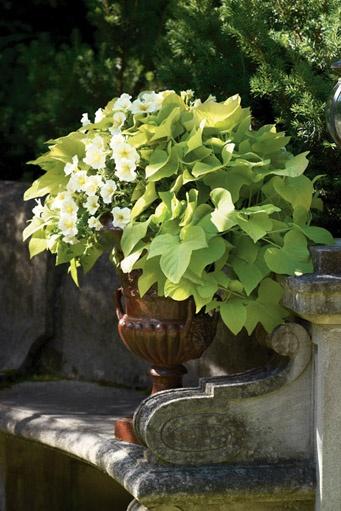 Ipomoea Marguerite (Sweet Potato Vine)
