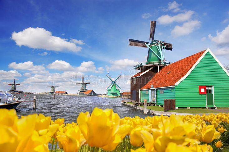 Traditional Dutch Windmill With Tulips In Zaanse Schans, Amsterdam Area, Holland Stock Image - Image of landmark, flower: 89800377