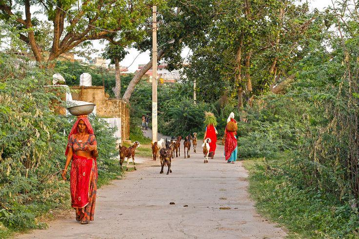 Heading home from the fields, Khandela.