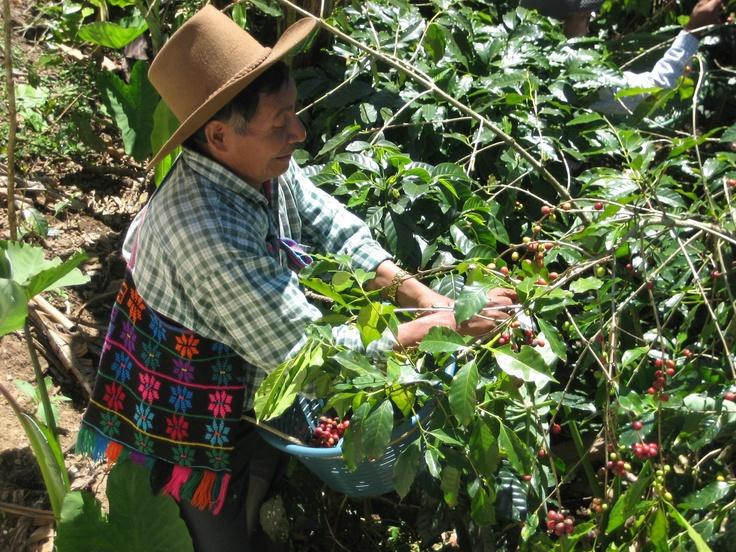 Cosecha del mejor café del mundo... el café de Guatemala ...