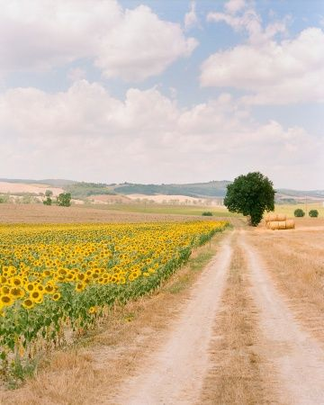 A Tuscan field of sunflowers between Florence and Barga, Tuscany