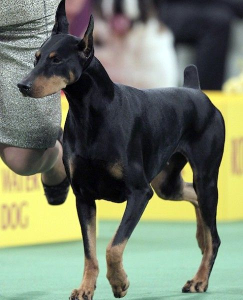 National Dog Show Best In Breed Competition Doberman