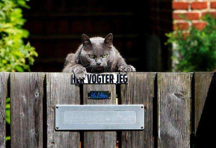 Forskere har set nærmere på huskattes personlighed. Det viser sig, at du skal være glad for, at din kat ikke er større, end den er. (Foto: Jan Unger)