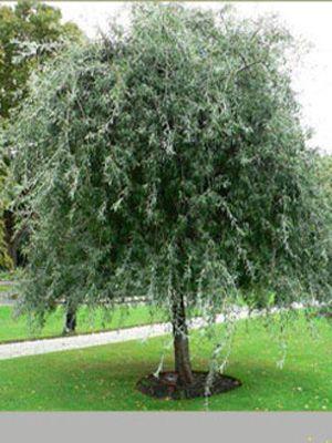 """Die hängendeSilberbirne wird auch 'weidenblättrige Hängebirne' genannt. Oft hört manauch die Bezeichnung """"Olive des Nordens' wegen ihrer Blätter, die sowohl in der Farbeals auch der Form der Olive sehr ähnlich sind...."""