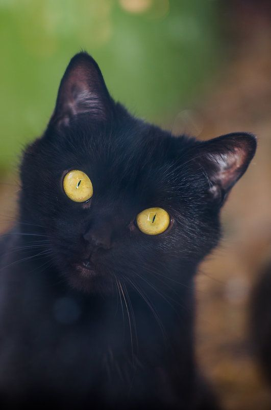 HoneyPhoto, black, cat, face, green, eyes, Nikon D7000, Nikkor 105/2.5Ai