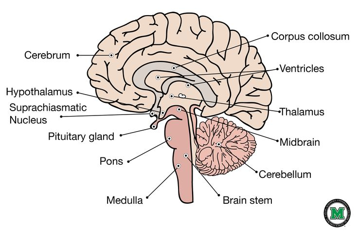 Sagittal View Of The Human Brain Brain Sagittal Everything And
