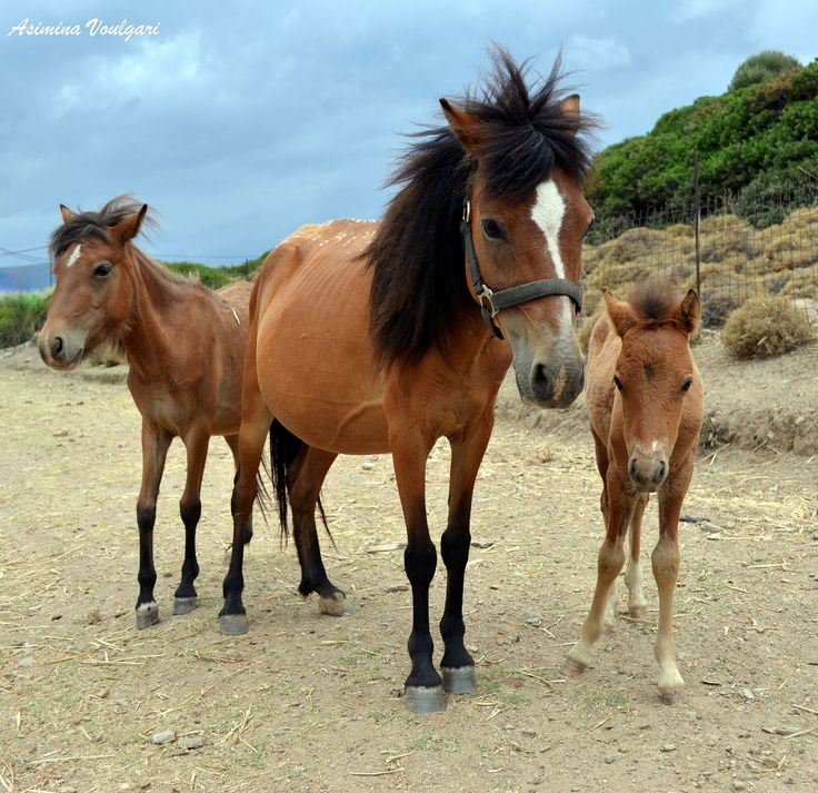 The small-bodied species of the Skyrian horse is one of the rarest horse breeds in the world. It was native to Greece, and in ancient times lived throughout the country. There are 220 Skyrian horses in Greece, of which 152 live in Skyros. The Skyrian horse is a protected species. .by Asimina Voulgari