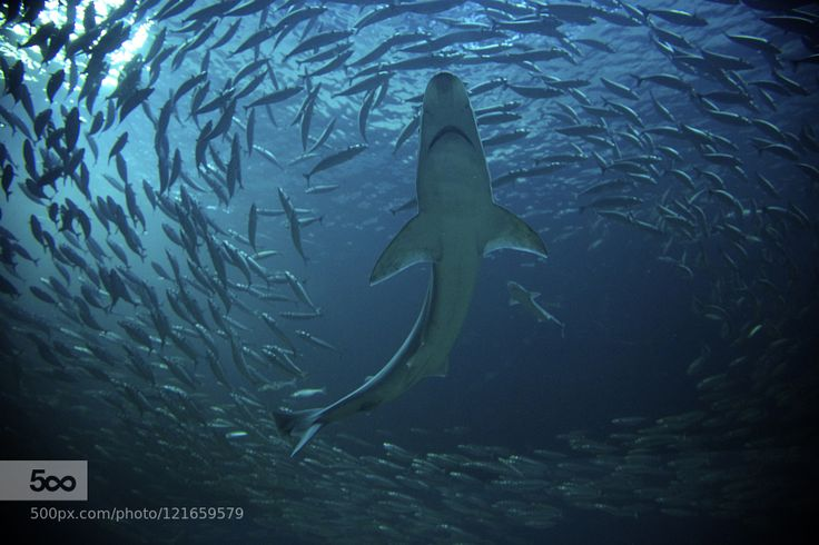 Shark in a fish swarm by nessennahojkirie A shark is seen from below encircled by fish in a swarm.