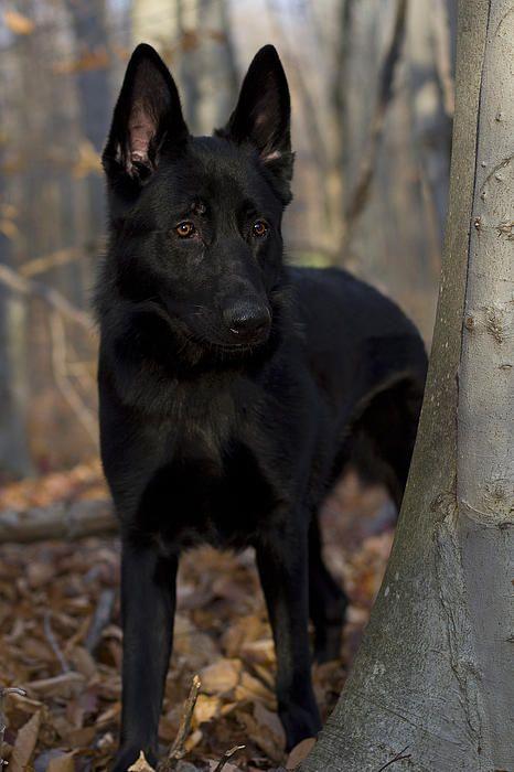 Black German Shepherd Photograph by Megan Noble - Black German Shepherd Fine Art Prints and Posters for Sale  Miss my Beau!
