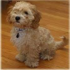 Résultats de recherche d'images pour «meilleurs croisements chiens miniatures»