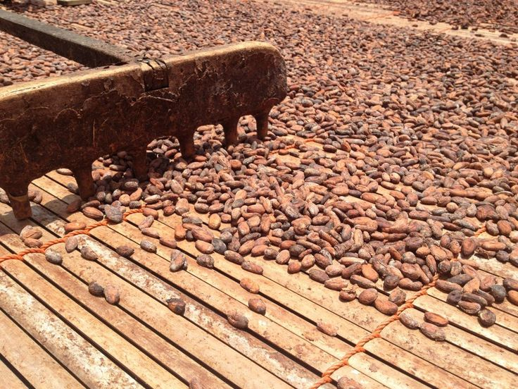 The cocoa beans drying in the sun.