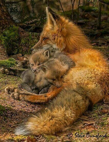 Beautiful fox and her kits....