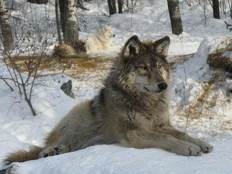 472 best gray wolf images on pinterest gray wolf wolf and grey wolves. Black Bedroom Furniture Sets. Home Design Ideas