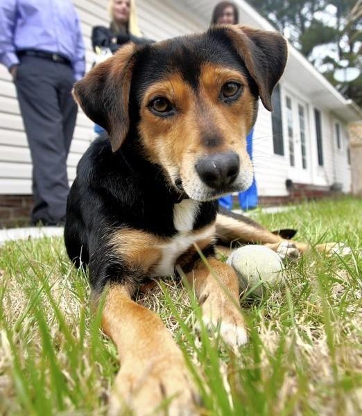 Beagle + German Shepherd