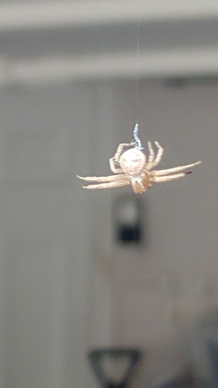 Crab spider preying bumble bee garden spiders spiders flower spiders - Crab Spider Hanging Out In Garage For Hours Like This Knotted Web By Spinner