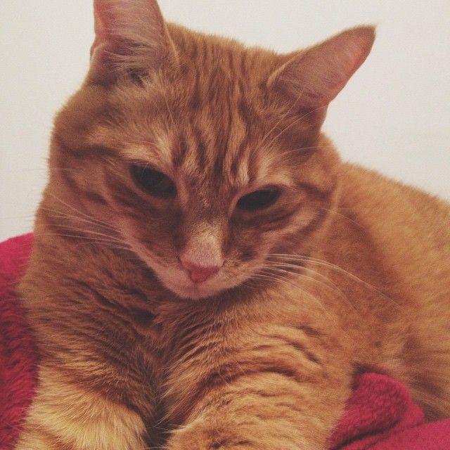 #vscocam #tender #cat #orange #ginger #love #cute #shy