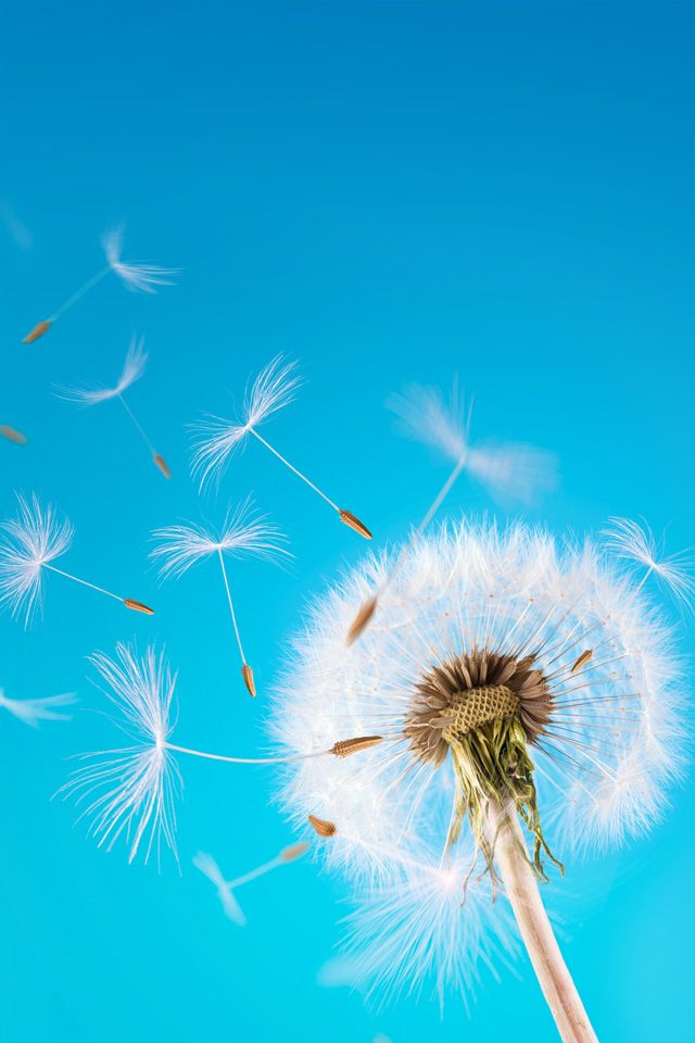best dandelion wishies images on Pinterest Dandelions
