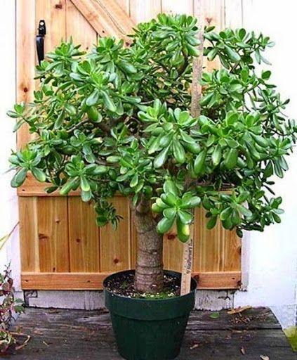 Толстянка (денежное дерево) – зелёный лекарь