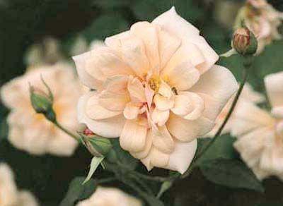 Perle dOr - Rose 904 - The Antique Rose EmporiumAntiques Rose, Perle D Or, Earthkind Rose, Gardens, Favorite Rose, D Or Flower, Dors Flower, Perle Dors, Dors Sweetheart
