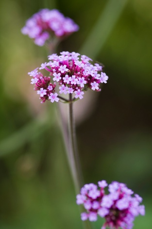 Verbena bonariensis. The perfect plant to stick into the flower garden where you have little room. Needs sun, butterflies love it. have loads in my garden it self seeds all over