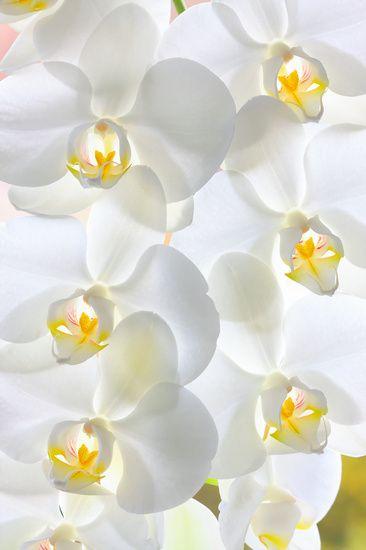 Nieuw in mijn Werk aan de Muur shop: Witte orchideeën