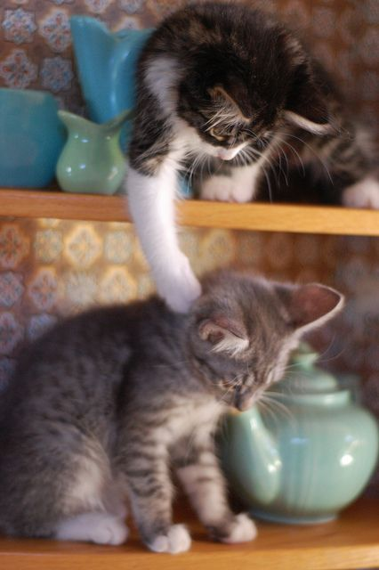 The Batsels, flirting with disaster by *lalalaurie, via Flickr #kittens