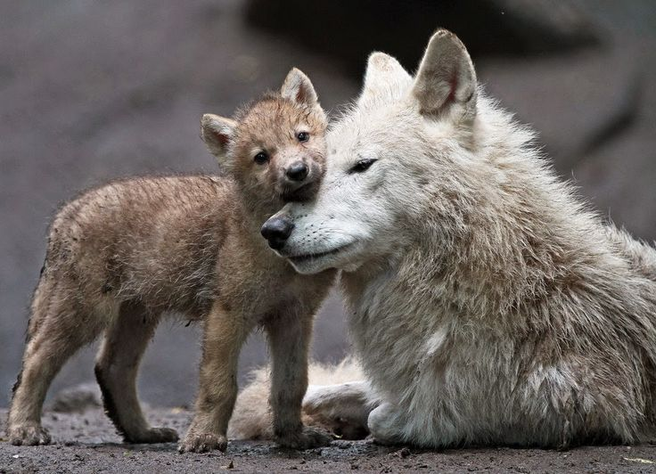 Image result for wolf pup in winter