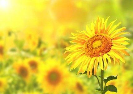 Sonnenblume - Heileigenschaften                                                                                                                                                                                 Mehr