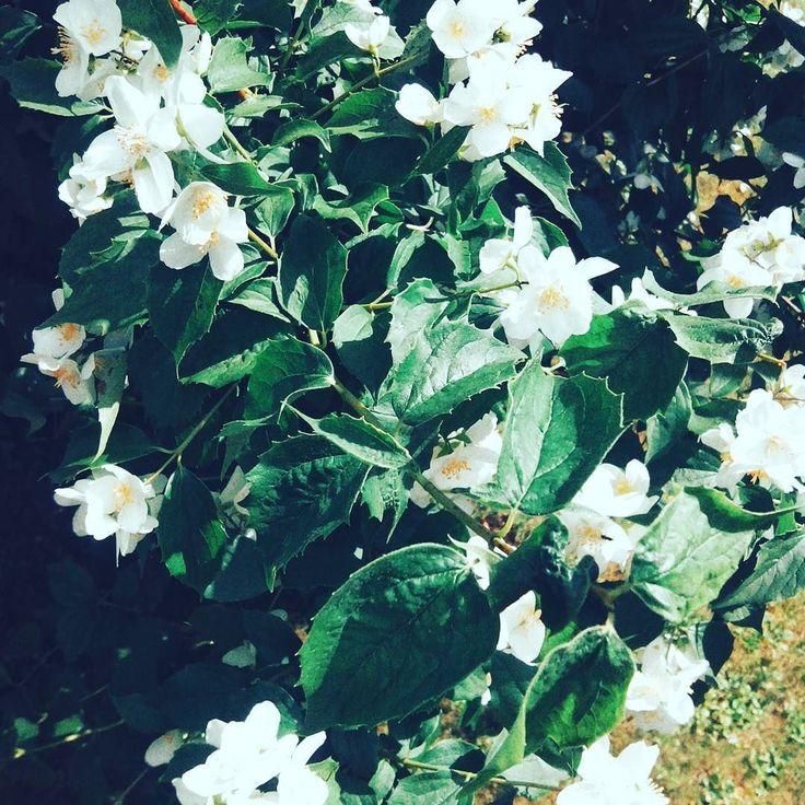 Viele kleine Blüten und keine Läuse Dank Marienkäfer-Larven  #Garten #Gartenliebe #rosen #rosengarten #sommer #bloom #blooms #Gartenglück #Gartenzeit #Gartenträume #Gärten #Blume #Blumen #Blumenliebe #Blumenfotografie #blumenzauber #nature  #naturelover  #naturephotography  #flowers #natureporn #flower #naturesbeauty  #naturelove  #PictureoftheDay  #Photooftheday
