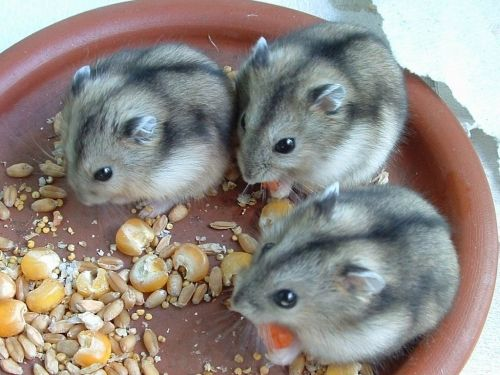 russian dwarf hamsters  --  you start with 2, and before you know it.. http://russiandwarfhamster.org/hamster-gallery/