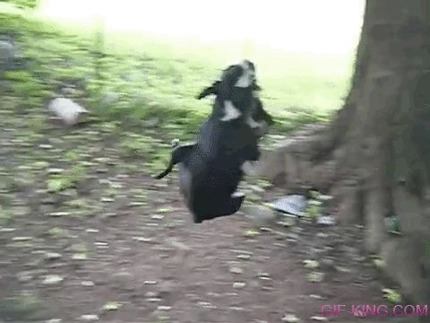 Three Boston Terrier