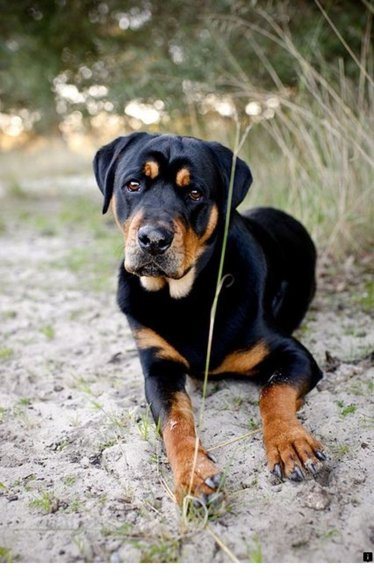 Pin On Rottweiler Puppies