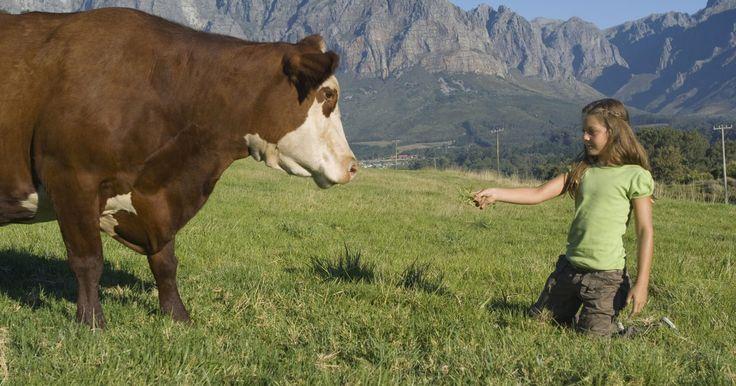 Cómo saber cuando una vaca va a tener un becerro. Es importante saber cuándo una vaca va a tener un becerro, para que puedas estar allí para ayudar durante el parto, si así lo requiere. Hay varias maneras de predecir cuando un becerro está por nacer. Siempre es mejor dejar a la vaca sola cuando tenga a su cría, pero estar cerca te permitirá llamar a un veterinario, si es necesario. También ...