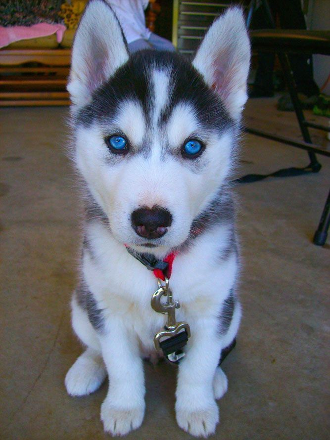 Siberian Husky Puppies For Sale St George News Siberian Husky Puppies And Dogs For Sale Near You Miniature S In 2020 Cute Husky Puppies White Husky Puppy Husky Puppy
