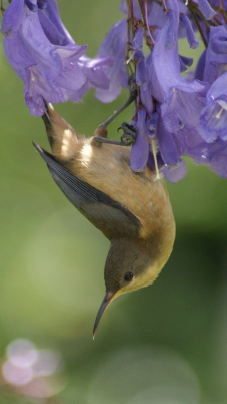 Young Spinebill 3
