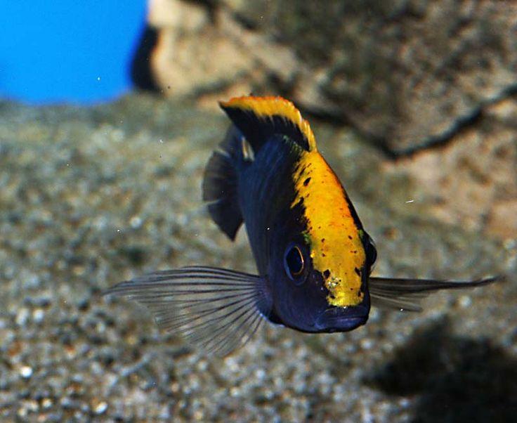 Haplochrominetankenglish compatible aulonocare maylandi for Best starter fish