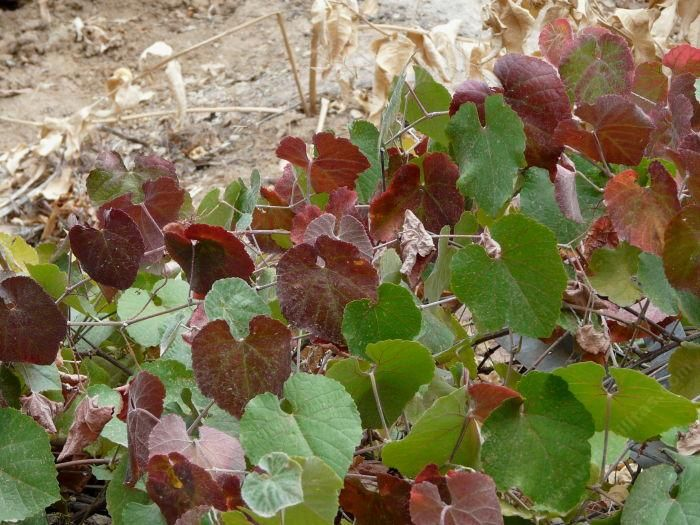 164 Best Native California Plants Images On Pinterest