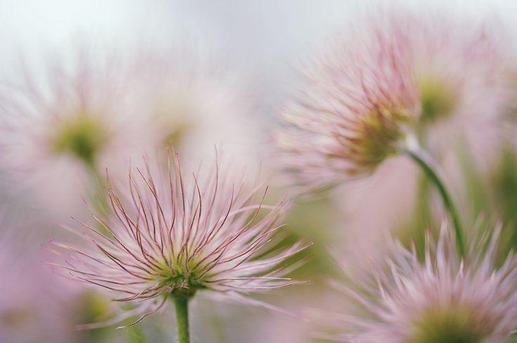 Kuhschelle, Blüte, Verblüht, Samen, Zart, Garten