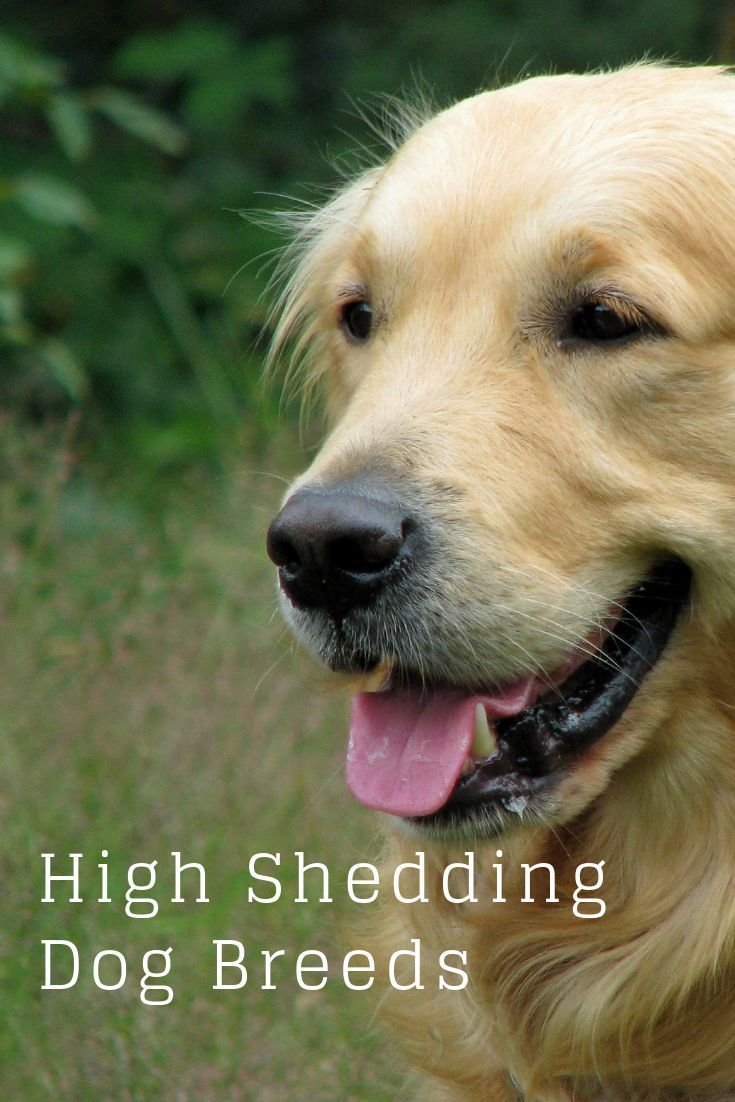 15 Low Shedding Dog Breeds Hypoallergenic Breeds Low Shedding