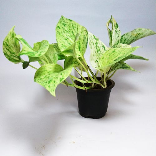 White Pothos Money Plant – Money Plants
